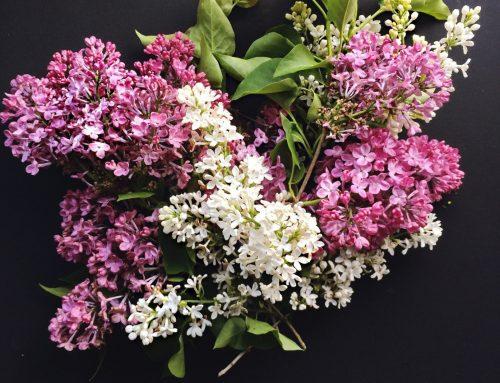 A Faint Smell of Lilac